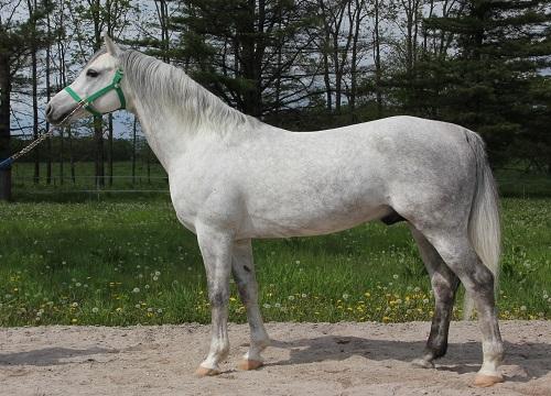 アラブ種の馬