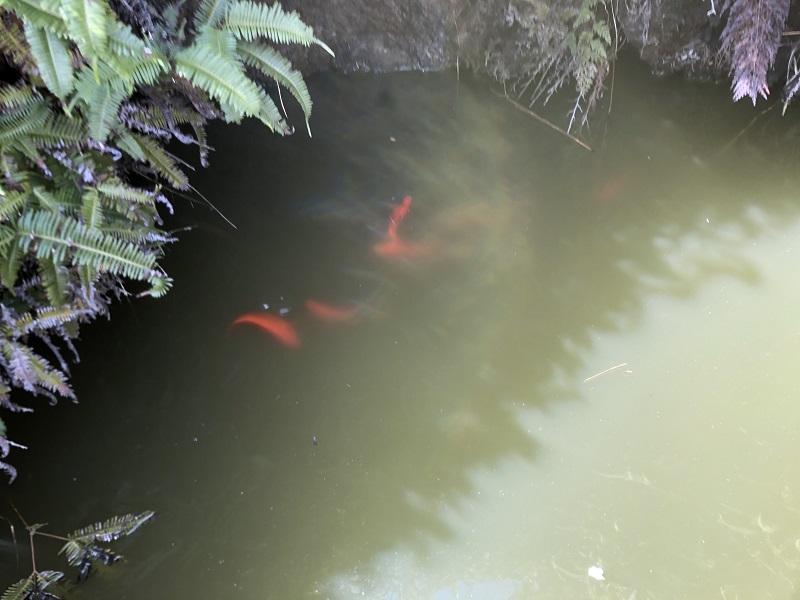 池の中の赤い金魚