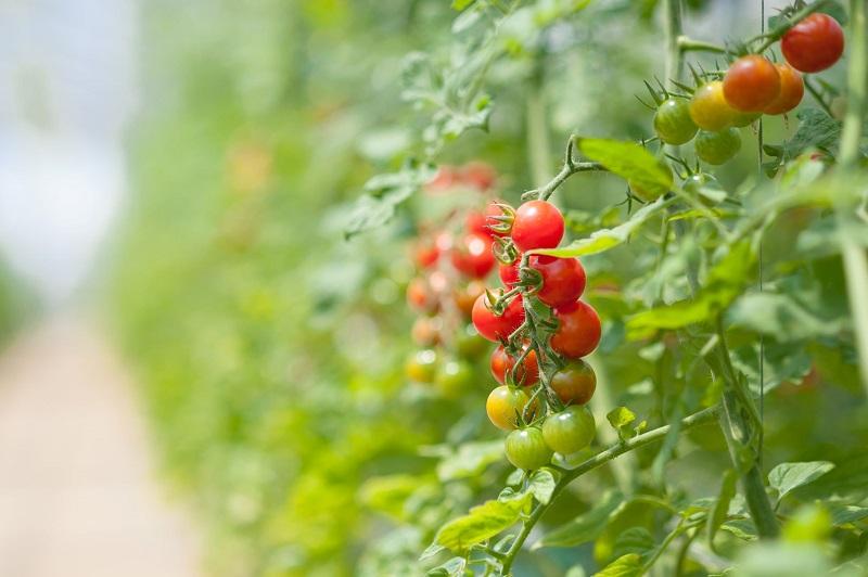 オスミックトマトの栽培