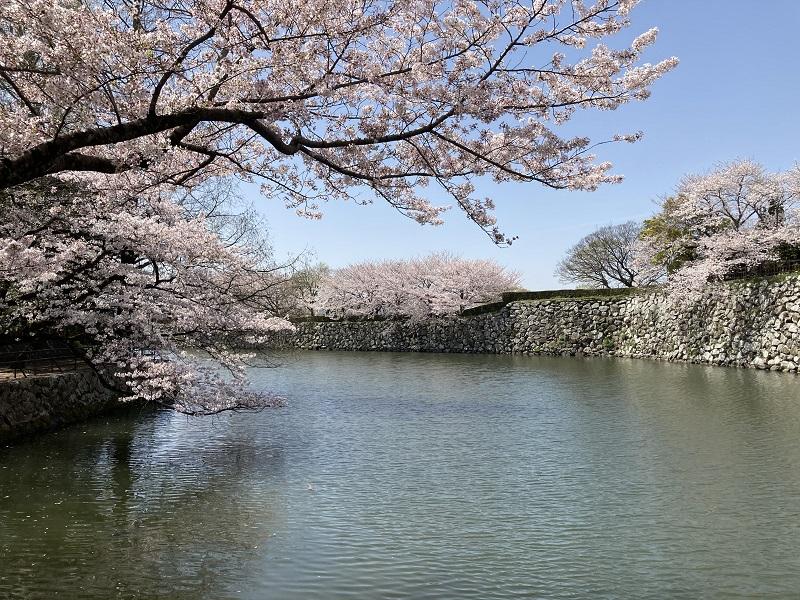 堀と桜の写真