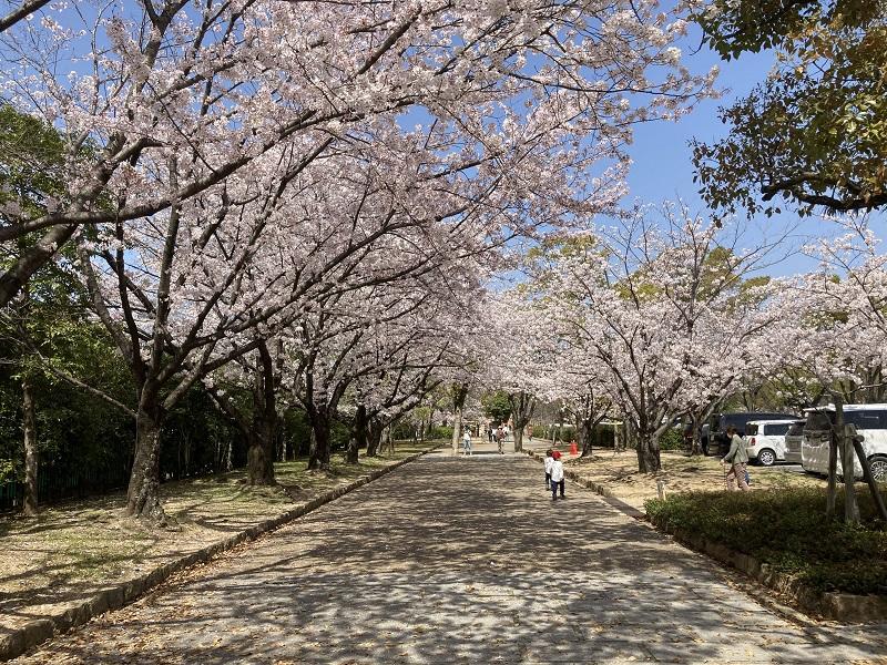 公園と桜の写真